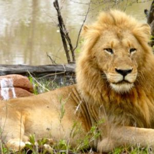 Lion at Sabi Sands Private Game Reserve in South Africa