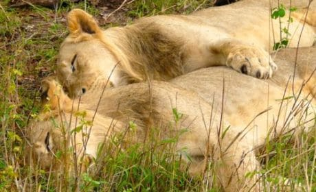 Two lions cuddle during a nap in South Africa