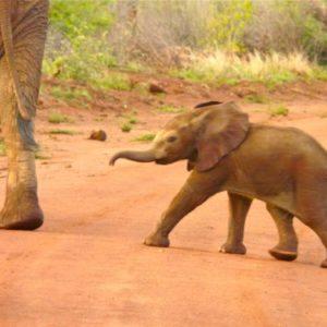 Baby elephant crosses the road in Madikwe Game Reserve.