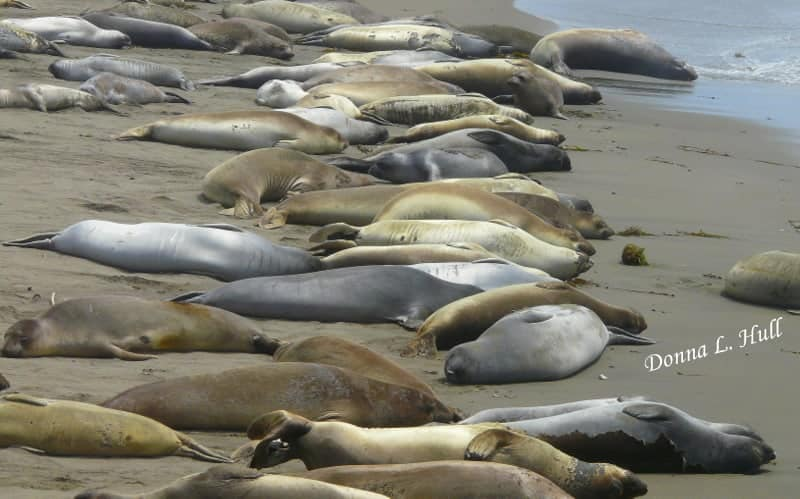 Piedras-blancas-elephant-seals-california