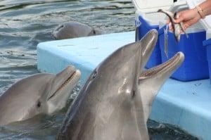 boomers-feed-dolphins-upper-keys-florida
