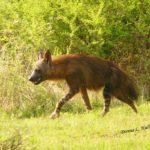 madikwe-hills-red-hyena-safari