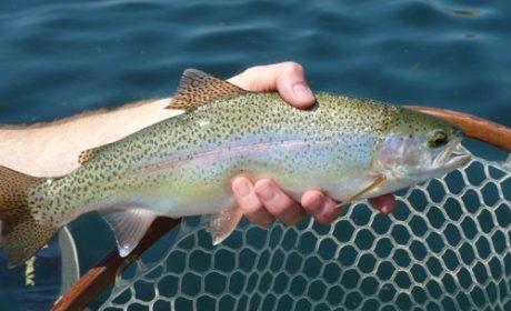 Trout caught in Missouri River