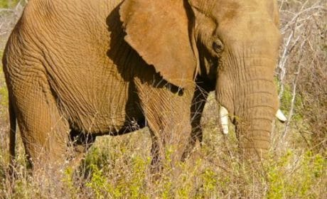An elderly elephant at Madikwe Game Reserve in South Africa