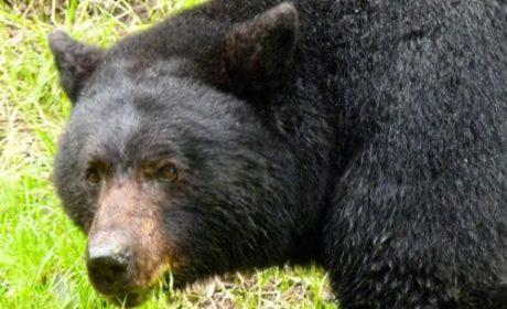 Black bear grazing on Highway 3 in British Columbia