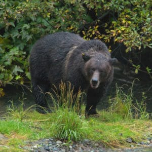 Grizzly bear at Fish Creek near Hyder Alaska