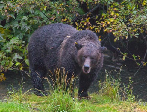 Grizzly bear at Fish Creek in Hyder, Alaska.