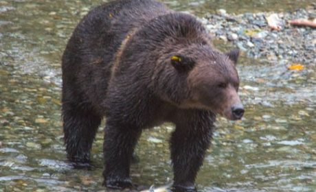 Grizzly bear looking for a salmon breakfast at Fish Creek, Alaska.