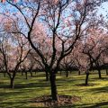 Blooming Almond Trees in Madrid