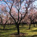 Blooming Almond Trees in Madrid