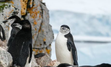 chinstrap penguins on Half Moon Island in Antarctica