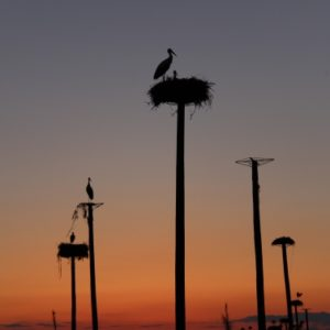 Storks in Caceres
