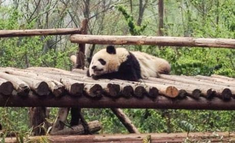 Seeing pandas in China
