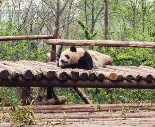 Seeing pandas in China