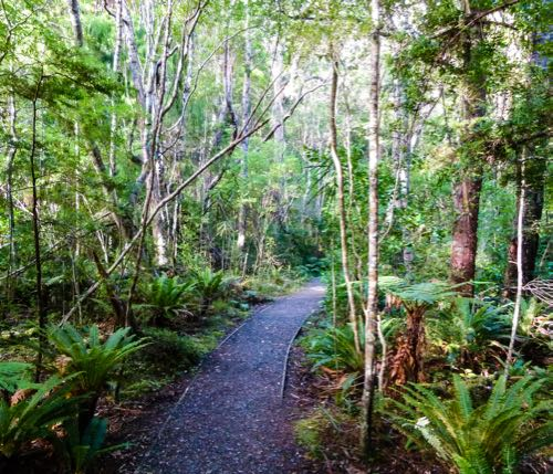On an Ulva Island guided walk, a trail winds through the temperate rainforest bordered by lush ferns.