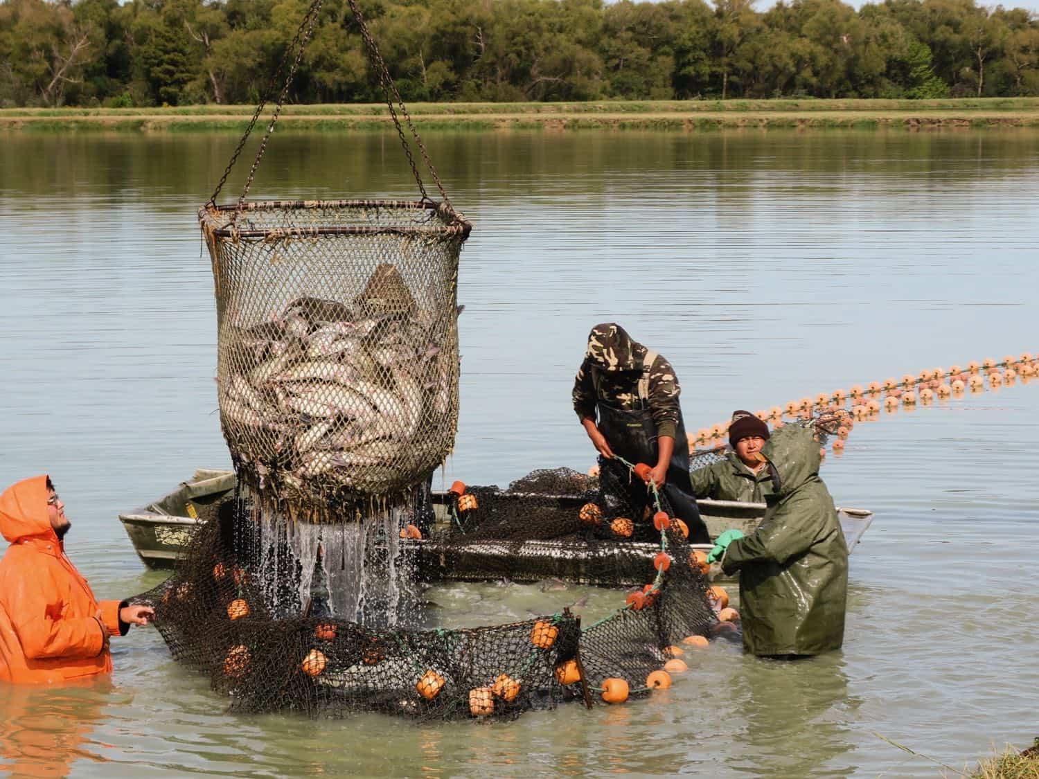 Men in the water hauling in a basket of catfish