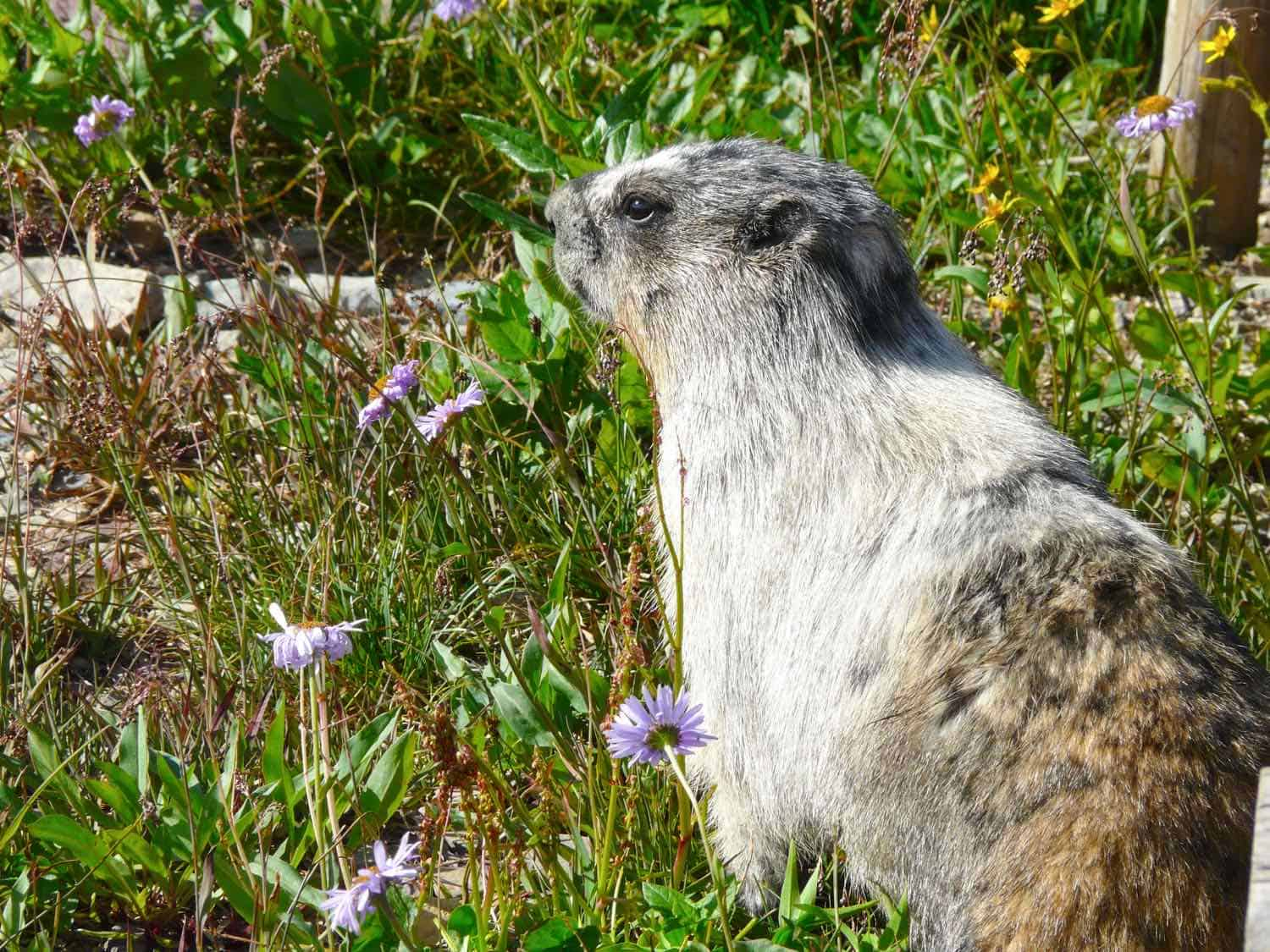 gray marmot in widlflowers and grass
