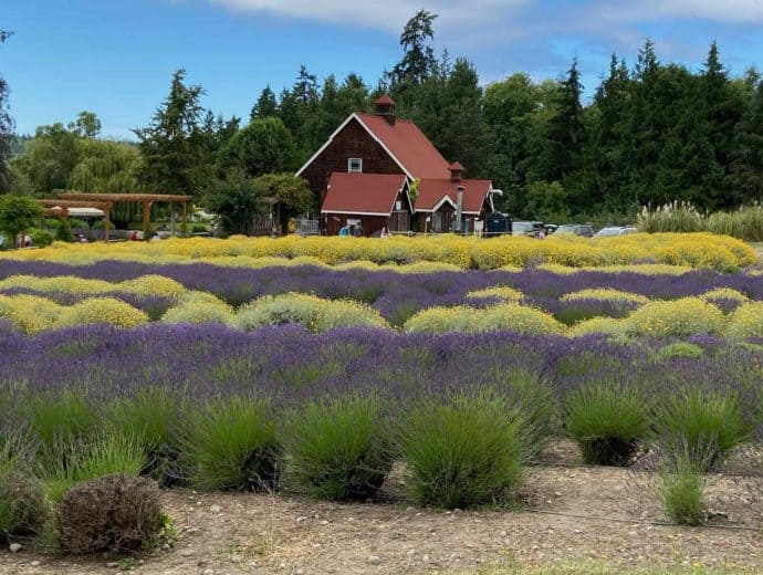 Blue lavender interspersed with yellow flowering plants and a brown home surrounded by evergreen trees.