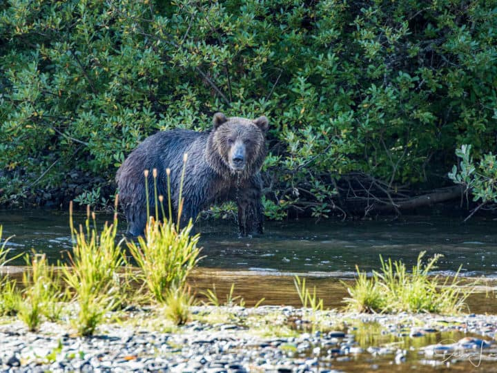 Kodiak bear next to a river with water dripping off his chin.