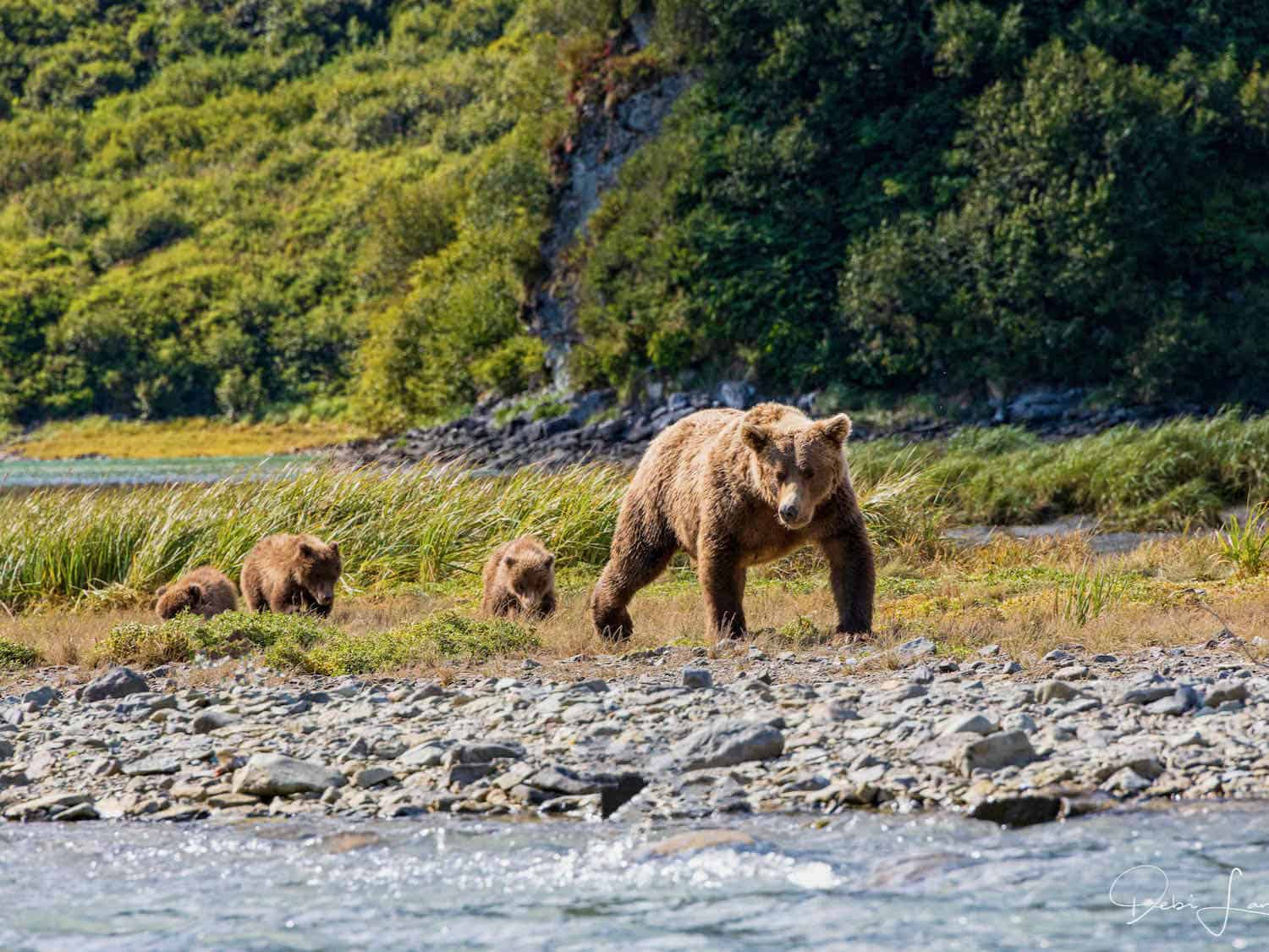 Mother brown bear leads triplet coy bears next to a river